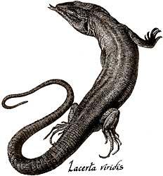 Mitos sobre lagartos y lagartijas