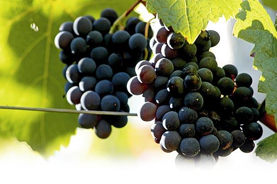 Uvas de Cangas