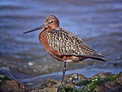Aguja Colipinta macho en plumaje nupcial, fotografiada en el paso de primavera hacia sus lugares de reproducción. Ría del Eo.