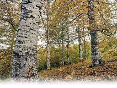 Bosque de Peloño, Ponga