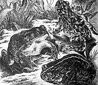 Mitos en torno al sapo