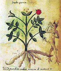 Propiedades mágico-medicinales de la Peonía