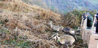 Repoblación de rebecos en la sierra del Aramo