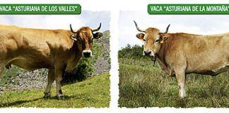 Ternera Asturiana: el sabor de la tierra