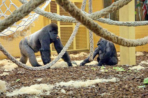 Los tres gorilas que actualmente se encuentran en Cabárceno viven en el recinto más grande de España