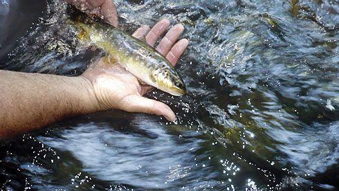 Trucha del río Narcea