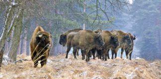 El Bisonte llega a Asturias