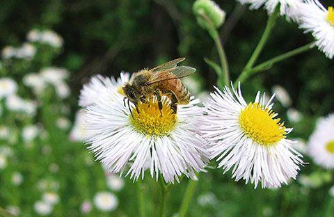 boal-abeja-en-flor