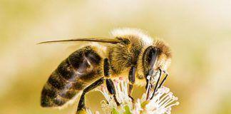 ¿Qué ocurre con las abejas?