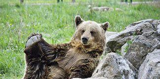 La osa Tola es uno de los animales al cuidado de la Fundación Oso de Asturias