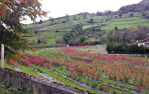 Plantación de arándanos en Belmonte