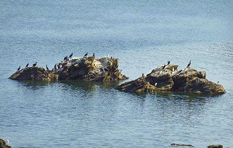 Grupo de aves en la Ría del Eo