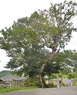 boal-carbayon