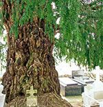 Tejo en cementerio de Salas