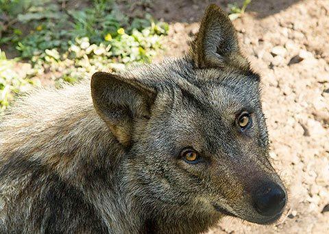 Ejemplar de lobo en las instalaciones de La Casa del Lobo en Belmonte de Miranda