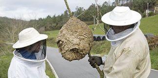 Miembros del Cepesma extrayendo un nido de avispón asiático