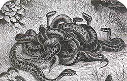 Algunos Mitos sobre las Víboras