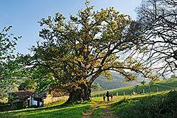 Carbayón de Valentín, monumento natural de Tineo
