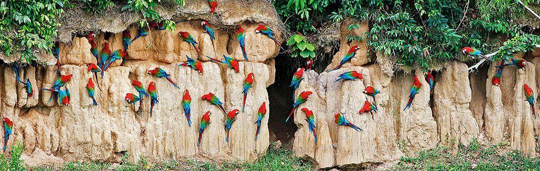 Guacamayos Aliverdes. Collpa de Blanquillo, Madre de Dios, Perú