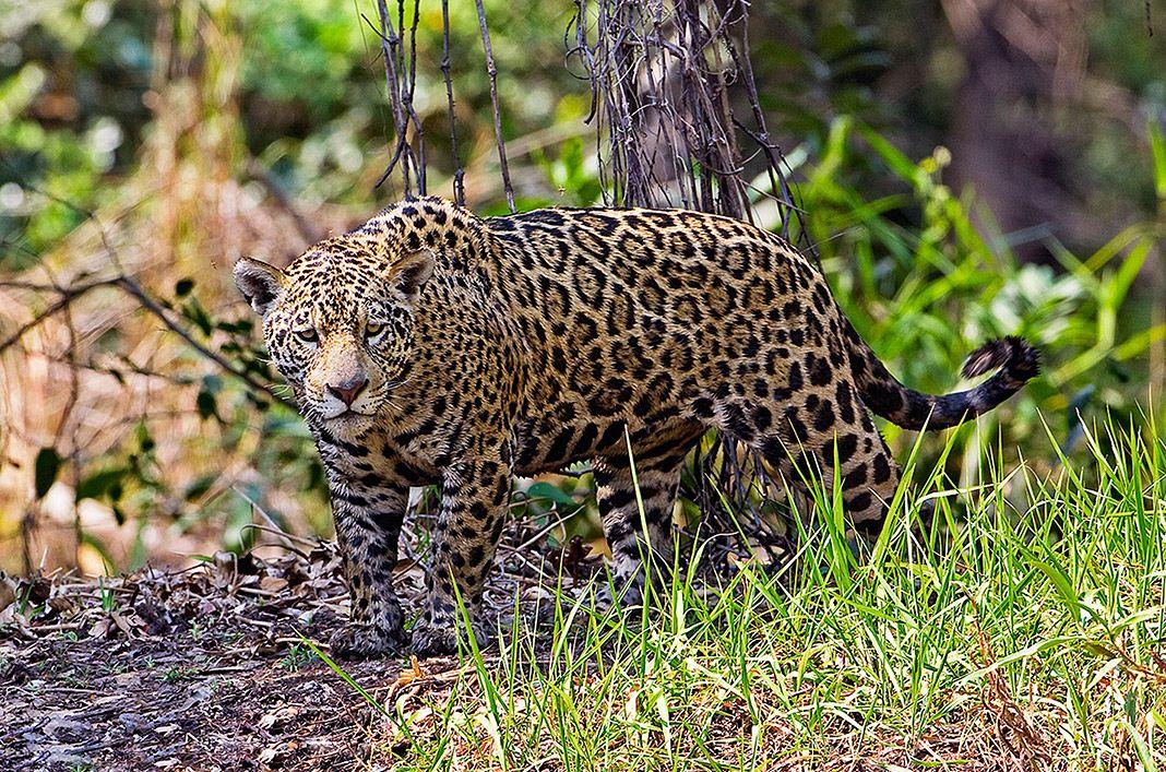 Hembra de jaguar. Pantanal, Brasil