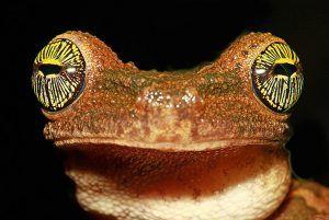 Rana de casco común. Posada Amazonas, Reserva Nacional Tambopata, Madre de Dios, Perú