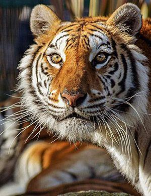 Tigre en El Bosque Zoológico