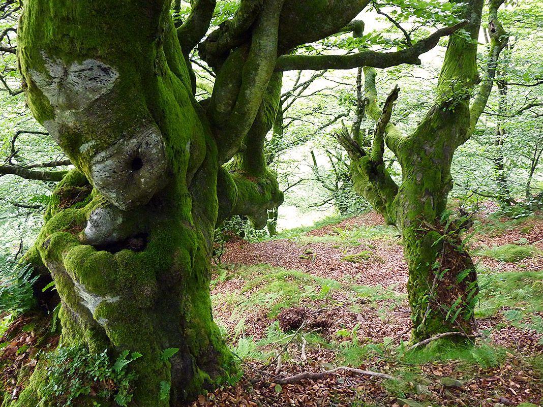 Bosque de hayas en Asturias