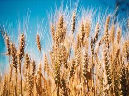 El trigo discute con otros cereales
