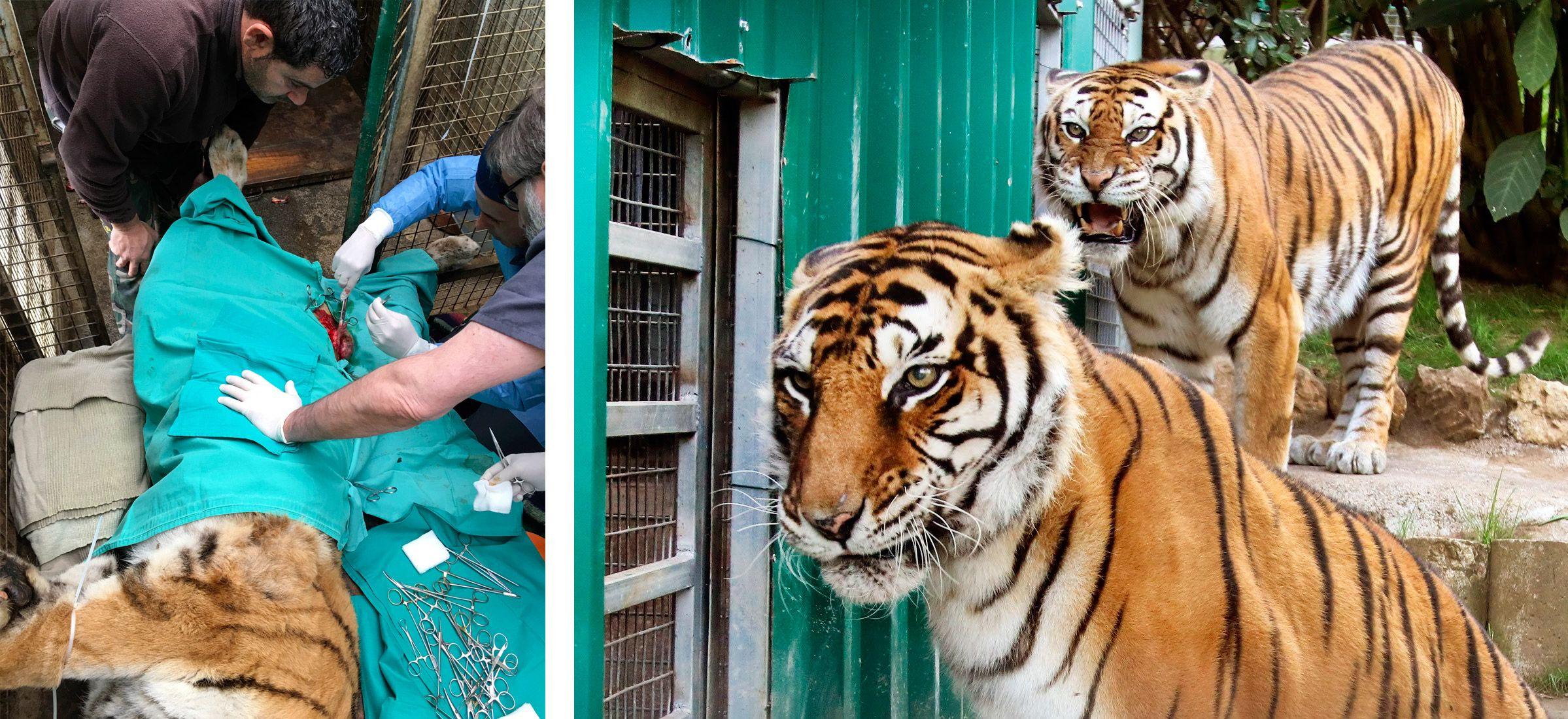 """Izda., operando a la tigresa """"Diana"""" de un cáncer de mama; dcha., las tigresas """"Zita"""" y """"Diana"""""""