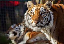 Tigresa Eloisa en el Núcleo Zoológico El Bosque