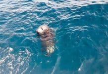 Cría de foca gris reintroducida en el mar en el mes de mayo en el entorno de Cabo Peñas.