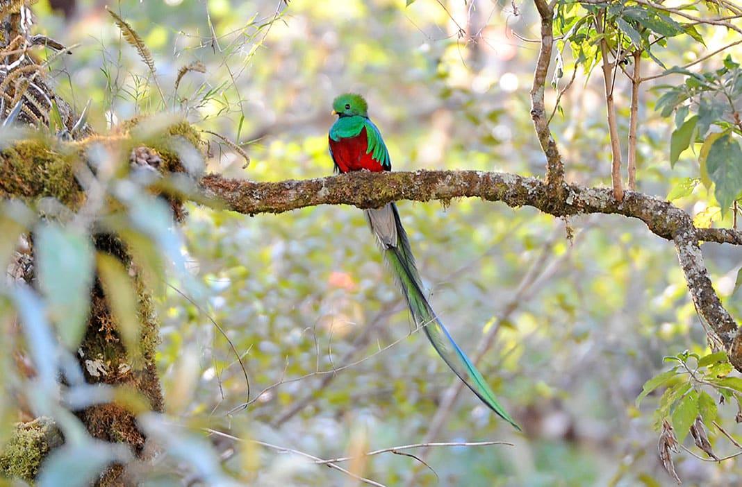 Quetzal Resplandeciente