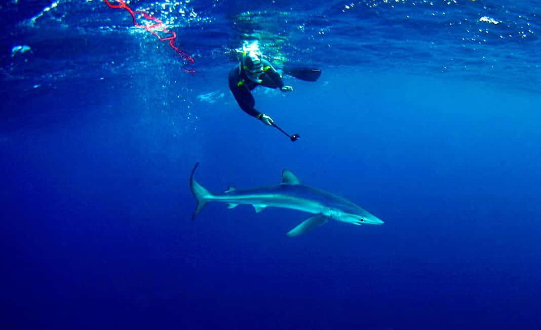 El biólogo Ricardo Fernández nadando con la tintorera